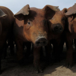 A study from Kansas State University reveals that soybean meal can provide a higher level of energy to swine diets than previously thought. (Courtesy of K-State Research and Extension)