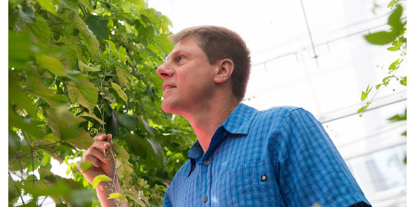 Bill Bauerle, professor in the Department of Horticulture and Landscape Architecture, with hydroponic hops at the CSU Horticulture Center. (Credit: John Eisele/Colorado State University Photography)