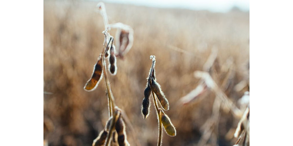 A population study on soybeans was established in Michigan's Sanilac County in 2019. (Courtesy of MSU Extension)