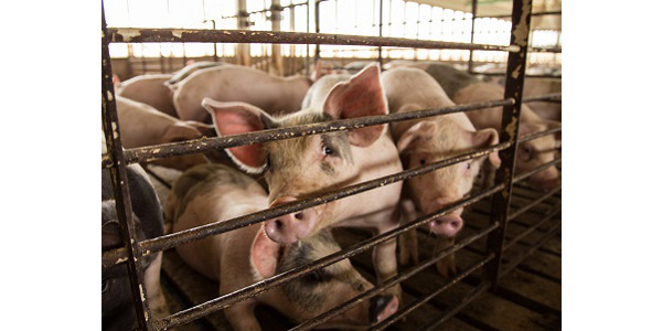 The Iowa Pork Industry Centerat Iowa State University, in collaboration with the Iowa Pork Producers Association, will hold six workshops in December to address preparations for an outbreak of a foreign animal disease. (Courtesy of Iowa State University Extension and Outreach)