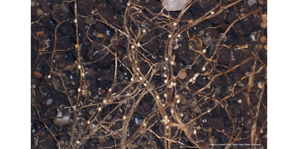 Figure 1. Females of the soybean cyst nematode (white to yellow-colored oval shaped objects attached to roots) infecting soybean roots. (Photo: Greg Tylka, Iowa State University).
