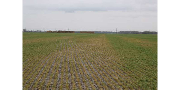Yellow portions of the field correspond to greater residue left by the combine at soybean harvest and resulted in poorer seed-soil contact at wheat planting. (Photo provided by Romulo Lollato, K-State Research and Extension)