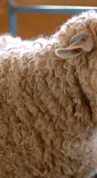 Wool handling course Jan. 8 in San Angelo