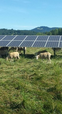 Sheep for Solar Grazing