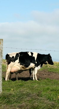 High oleic acid soybeans offer benefits to dairy cows, farmers, research shows