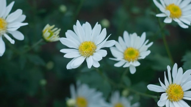 Daisies bring a sunny look to the garden