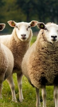 Empire Classic Youth Sheep Show to be held July 25