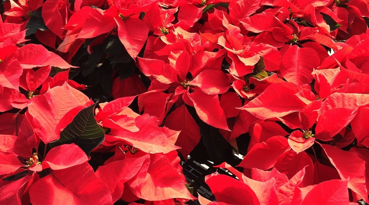 Poinsettias For Christmas 2020 Master Gardener premium poinsettia & Christmas wreath fundraiser