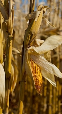 U.S. corn and soybean production down from September