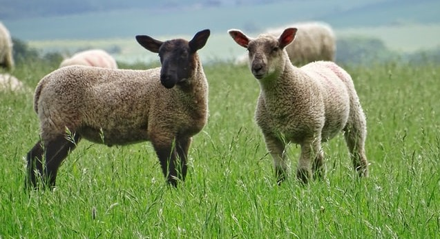 Changes proposed for Lamb Promotion, Research & Information Order