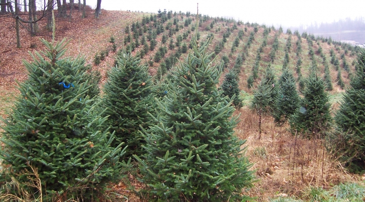 Is There Goingvto Be A Christmas Tree 2020 2020 Christmas tree season 'is going to be excellent' | Morning Ag