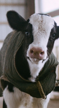 Webinar features how to create the most valuable calves
