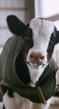 Dairy calves benefit from higher-protein starter feed