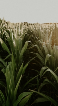 Corn acres planted in the Northwest up 2 percent from 2020