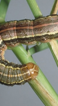Global fight against fall armyworm gets Texas boost