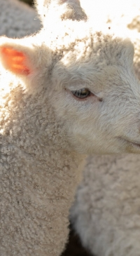 American Lamb Board nominations now open