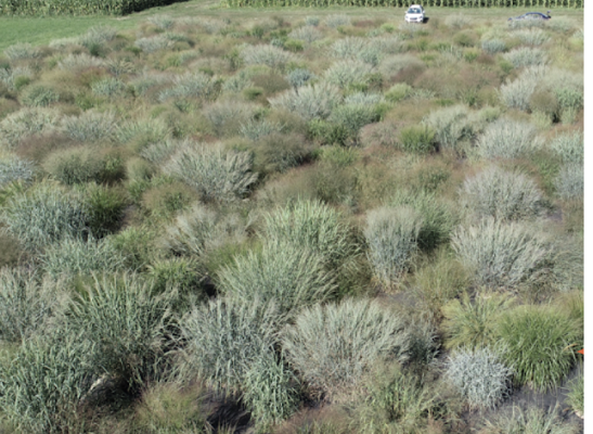 switchgrass research