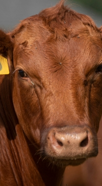 R-CALF USA: Bill aims to preserve rancher choice when identifying cattle