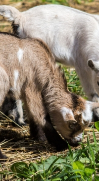 Raising Bottle Lambs & Kids webinar, March 31