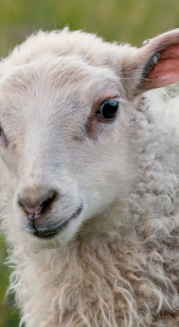Final call for U.S. sheep and goat producer input