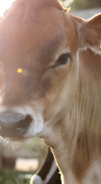 DCHA webinar features heat stress management for calves and heifers