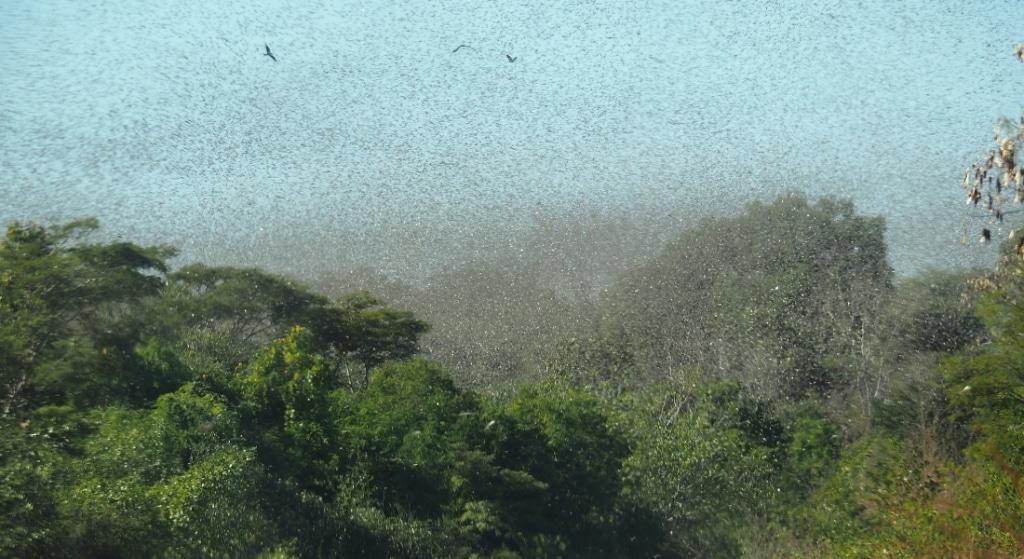 Poor rains bring optimism African locust outbreak will fade