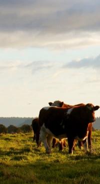 Study will help NYS livestock farmers maximize profit