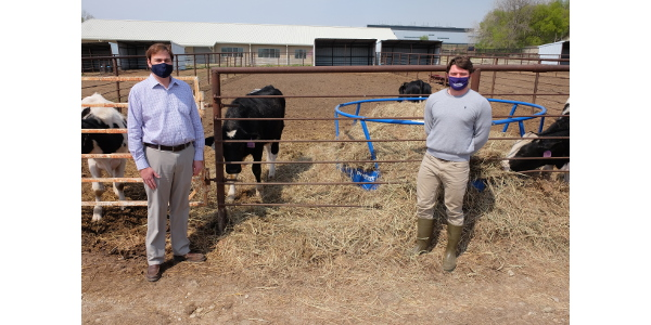 Researchers study anaplasmosis-infected cattle