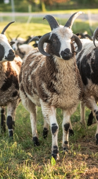 State budget funds sheep producer initiatives