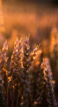 North Dakota Wheat Commission: Weekly wheat update
