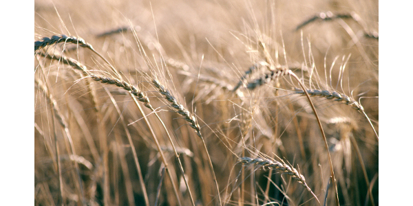 Winter wheat production in the Northwest Region down 14% from last year