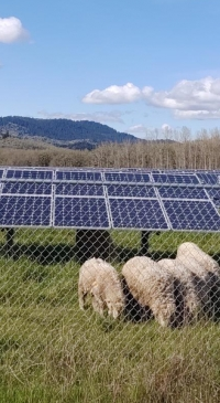 Combining solar panels and lamb grazing increases land productivity