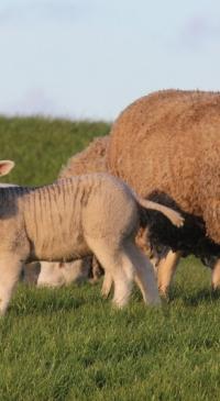 Extension to host goat, sheep internal parasites webinar