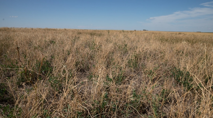 alfalfa weevil damage