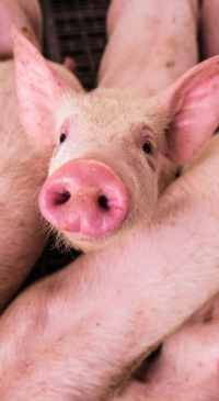 USDA extends deadline to apply for pandemic assistance to livestock producers with animal losses