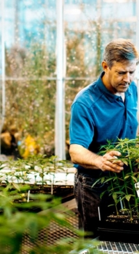 Hemp goes 'hot' due to genetics, not environmental stress