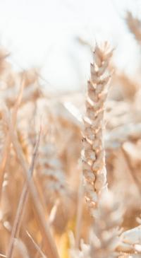 North Dakota Wheat Commission- Weekly wheat update
