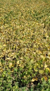 Drought-stressed soybeans offer forage options