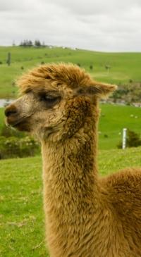 Llama & Alpaca Parasite Management Workshop