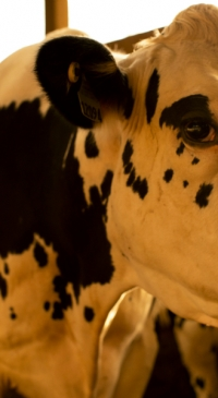 Knock down external parasites this fall to improve milk production